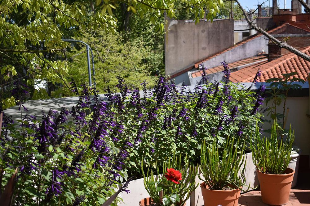 Terraza salvia guaranitica en flor