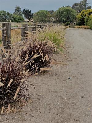 Parque floracion estival pennisetum