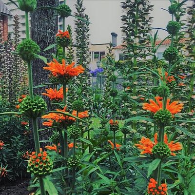 Jardines floracion leonotis leonorus
