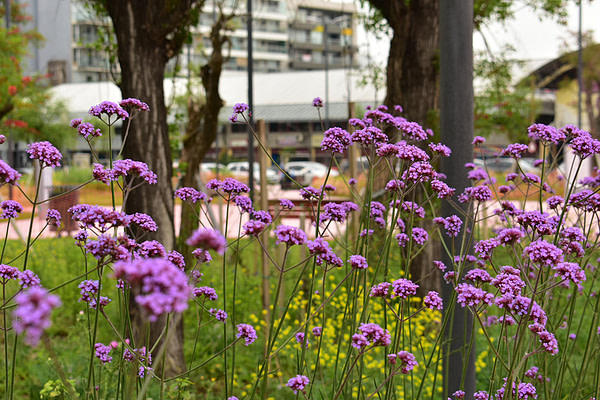 Verbena bonariensis plaza