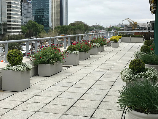 Terraza buxus versus floracion de salvias